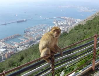 Gibraltar hungriger Affe