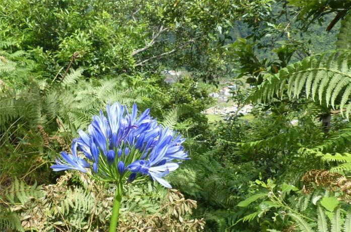 Madeira 3 Agapanthus mit Aussicht