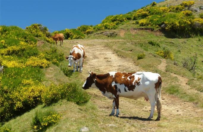 Madeira 5 Kuehe