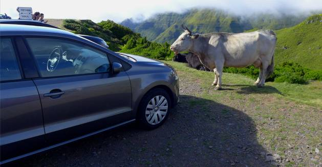 Madeira Auto und Kuh