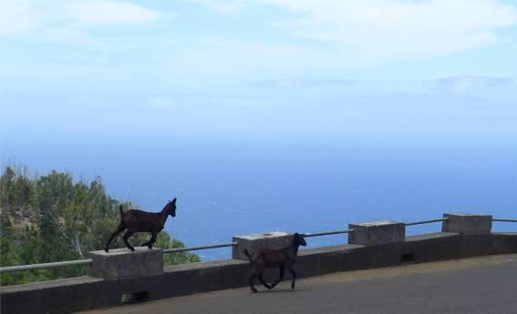 Madeira Ziegen auf Abwegen