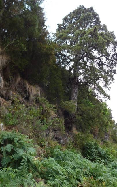 Teneriffa Baum klammert sich an den Hang