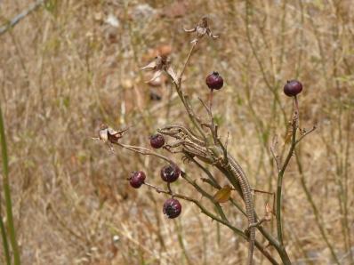 Teneriffa Eidechse beim Beerenschmaus