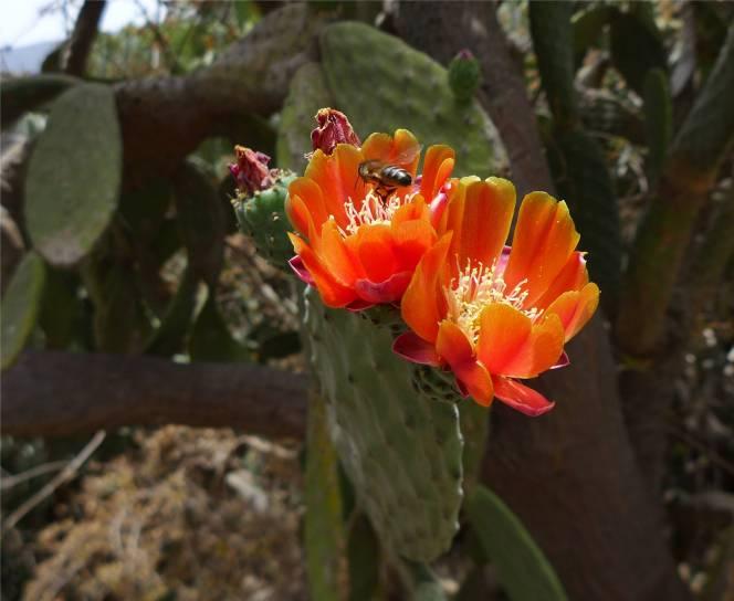 Teneriffa Kaktusblüte