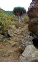 Teneriffa vorbei am Drachenbaum