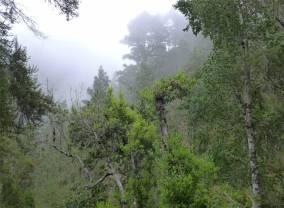Teneriffa Wald im Orotava Tal