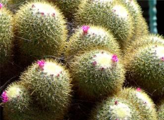La Gomera blühender Kaktus