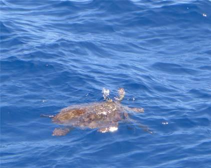La Gomera Schildkröte