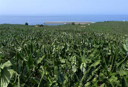 La Palma Bananen bis zum Meer