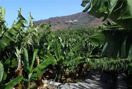 La Palma Bananen