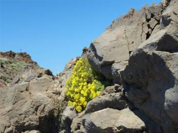 La Palma es blüht auf dem höchsten Gipfel