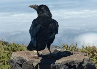 La Palma frecher Vogel