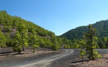 La Palma Kiefern auf schwarz