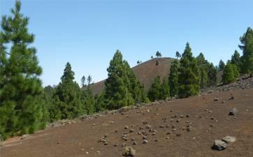 La Palma Kiefern auf schwarzem Boden