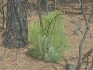 La Palma Kiefern treiben nach den Bränden wieder aus