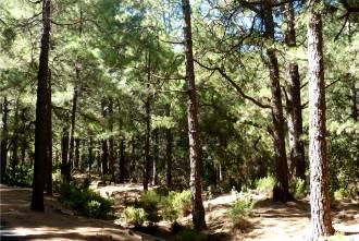 La Palma Kiefernwald