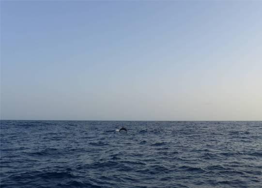 Atlantik Delfine zum Abschied 2