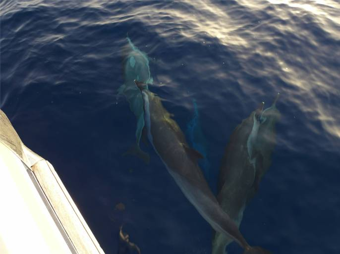 Atlantik Delfine zum Abschied 5