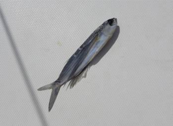 Atlantik Fisch nicht mehr fliegend
