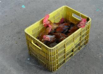 Maragogipe Hühner ganz frisch