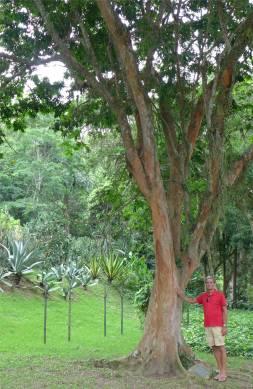 Rio botanischer Garten Nobbi und der Pau Brasil der Brasilien seinen Namen gab