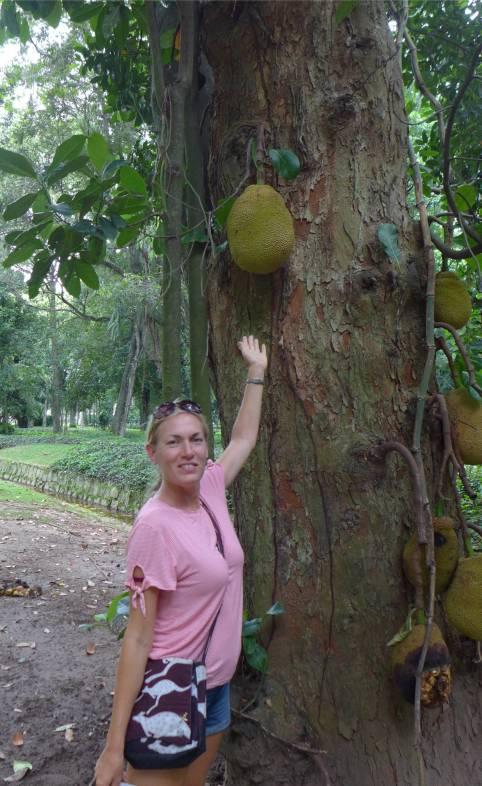 Rio botanischer Garten so groß sind Jackfruits