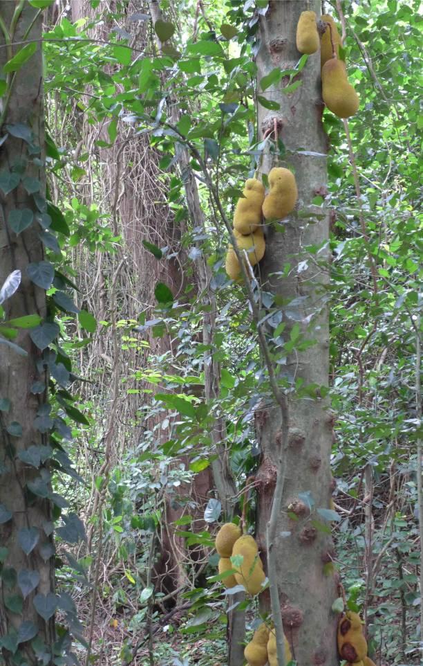 Rio botanischer Garten so viele Jackfruits an einem Baum