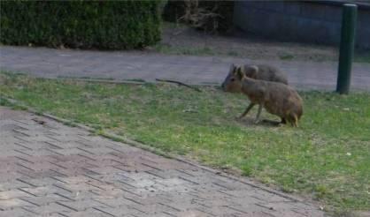 BA Capybaras auf Abwegen