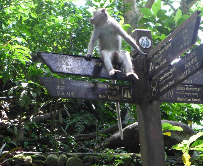 Bali Affe als oder mit Wegweiser