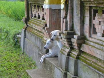 Bali Hunde im Tempel