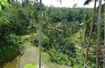 Bali mal wieder Reis