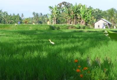 Bali Reisfeld mit Bewohner