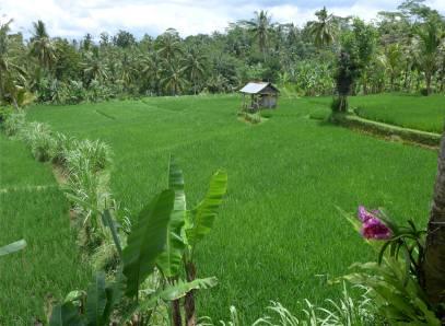 Bali schon wieder Reis