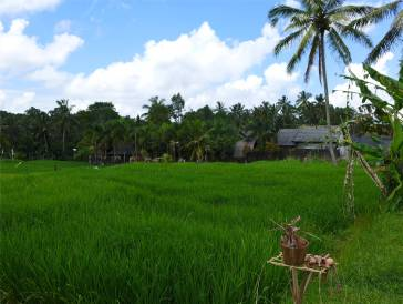 Bali so grün ist nur Reis