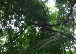 Manaus flauschiger Affe im Bosque da Ciencia
