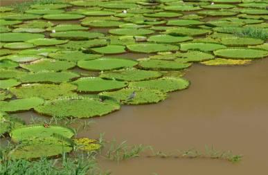Manaus Seerosen mit Vogel