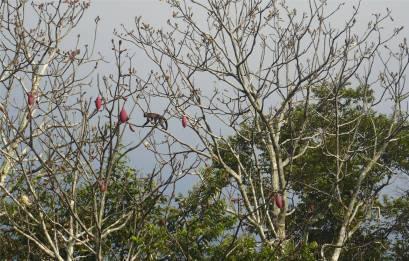 Uacari Affe spaziert durch Baumkrone