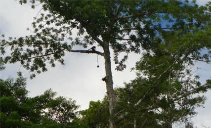Uacari Affe versucht Frucht zu öffnen