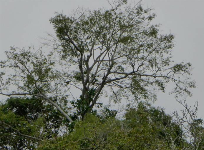 Uacari Brüllaffen machen sich vom Acker
