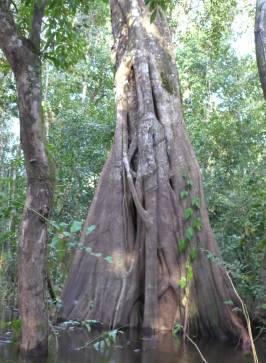 Uacari ein Baum oder viele