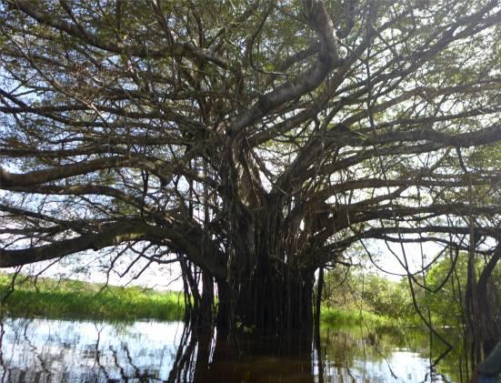 uacari Jaguarbaum leider ohne Jaguar