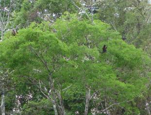 Uacari Kapuziner im Baum