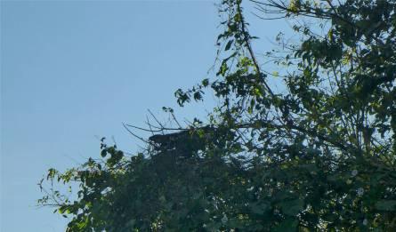 Uacari Leguan gut versteckt