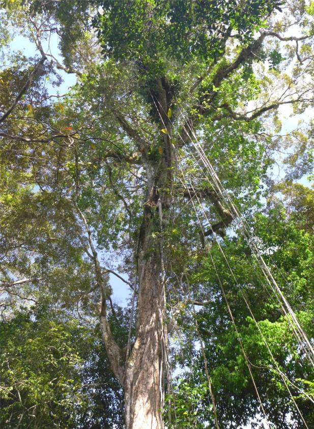 Uacari nicht nur ein Baum Pflanzengemeinschaft