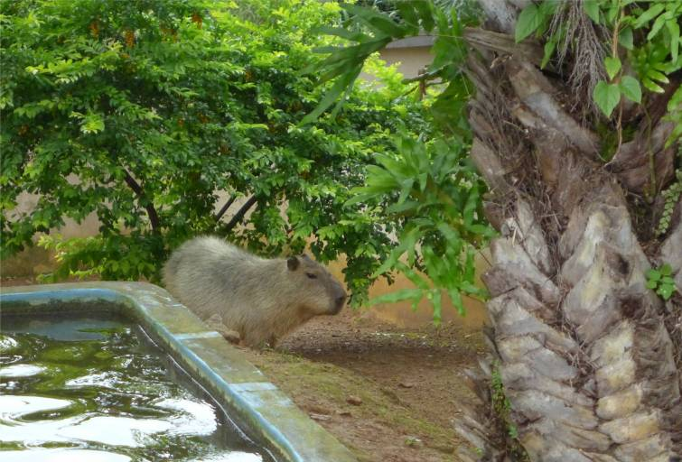 Salvador Capybara riesen Meerschwein