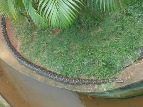 Salvador Pythons treffe ich lieber im Zoo