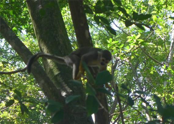 Ile Salut neugierige Affen