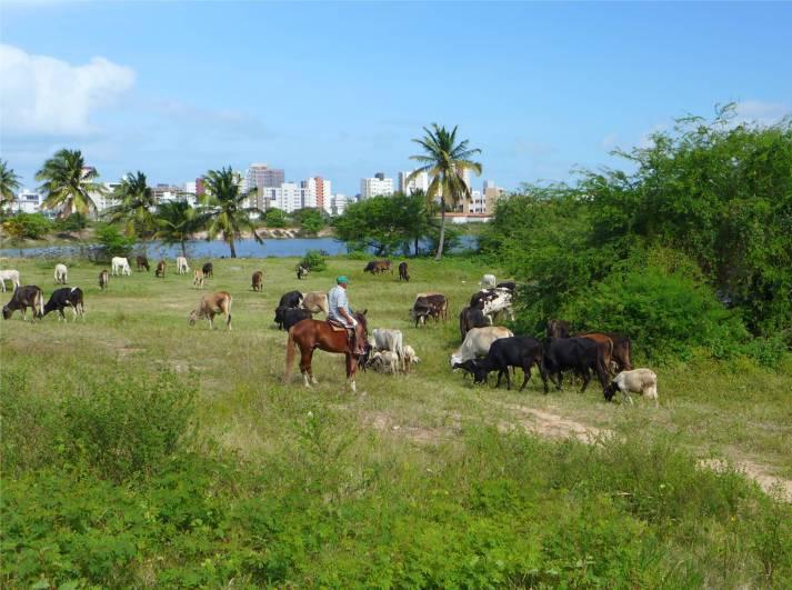 Jacare Cowboy mit Kuhherde und Schafen