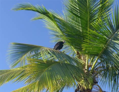 Kourou Geier auf Palme