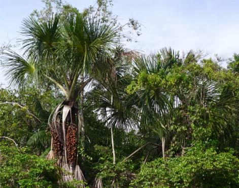 FG Criques viele verschiedene Plamen wachsen im Wald